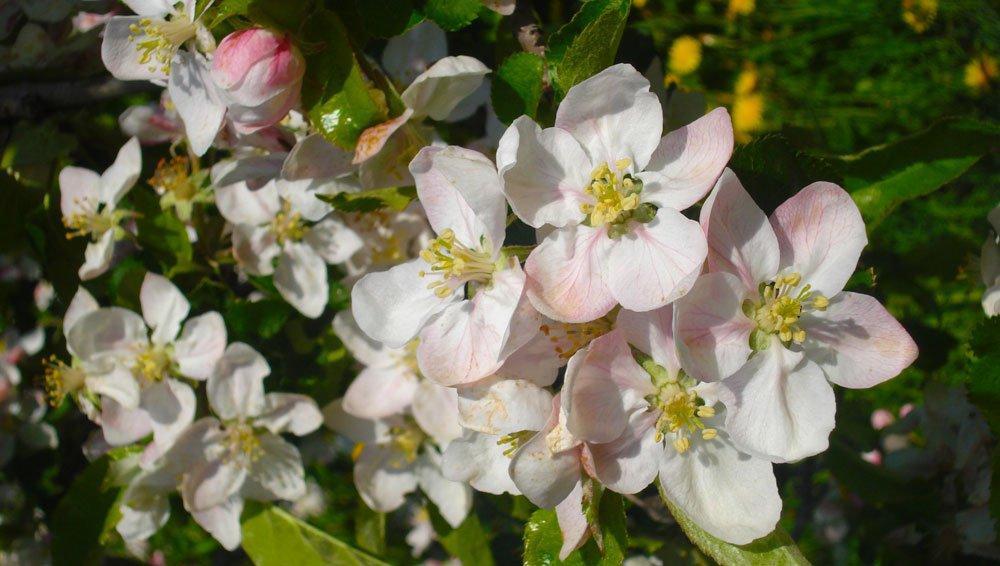I meli in fiore e il risveglio della primavera nella Val Isarco