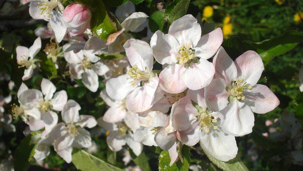 Südtirol und der Apfelanbau – eine historische Verbindung